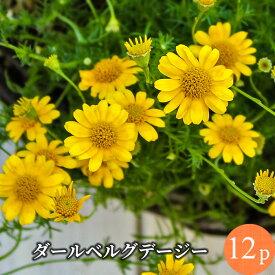 ダールベルグデージー 花苗 12ポットセット[春苗一年草]