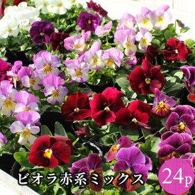 ビオラ 赤系品種アソート 花苗 24ポットセット