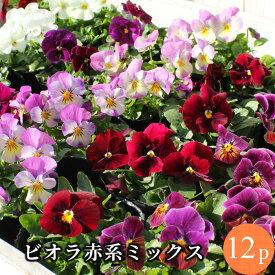 ビオラ 赤系品種アソート 花苗 12ポットセット[冬一年草]