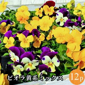 ビオラ 黄系品種アソート 花苗 12ポットセット