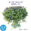 (5/27~出荷)モリモリ! 栄養系 スーパートレニア カタリーナ 3.5号 花苗[夏苗予約]