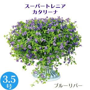 (5/27〜出荷)モリモリ! 栄養系 スーパートレニア カタリーナ 3.5号 花苗[夏苗予約]