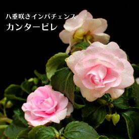 八重咲きインパチェンス カンタービレ プリンセスピンク 花苗 3.5号