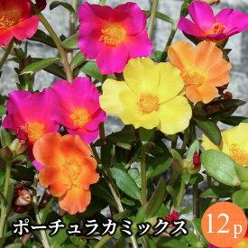 ポーチュラカ 12ポットミックス 花苗 セット[夏苗一年草]