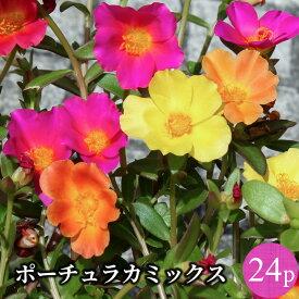 ポーチュラカ 24ポットミックス 花苗セット[夏一年草]