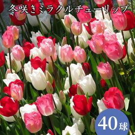 【送料無料】冬咲きミラクル チューリップ 冷蔵処理 オランダ産 球根 大袋40球入
