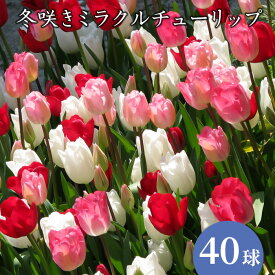 【送料無料】冬咲きミラクル チューリップ 冷蔵処理 促成栽培 オランダ産 球根 大袋40球入