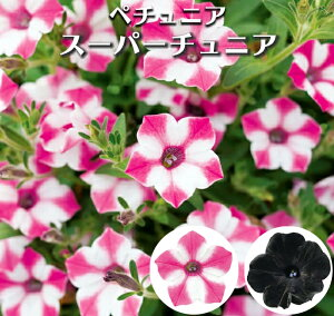 【処分特価】ペチュニア スーパーチュニア 花苗 3号[春苗]