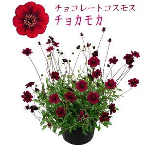 チョコレートコスモス チョカモカ 3号[秋苗予約]