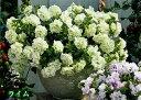 【処分特価】タキイ 八重咲きペチュニア ドレスアップ 3号 花苗 [春苗]