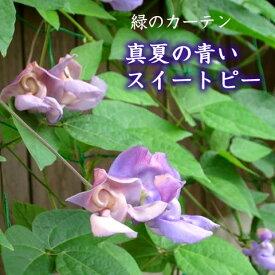 【セール】スネールフラワー 真夏の青いスイートピー 3.5号花苗
