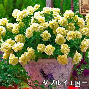タキイ 八重咲きペチュニア ギュギュダブル 3号 花苗[春苗予約]