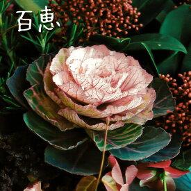 【処分特価】アンティーク ミニ葉牡丹 百恵 専門店用2.5号苗