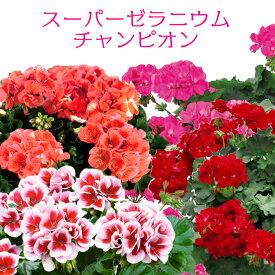 [秋苗予約]スーパーゼラニウム チャンピオン 花苗 3号 ゼラニューム 新品種