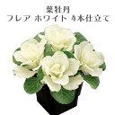 ミニ葉牡丹 フレア ホワイト 4本仕立て 3号サイズ