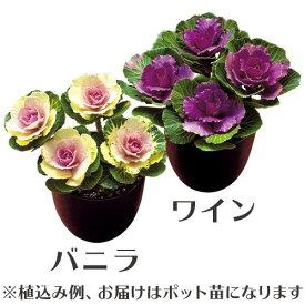 タキイ ミニ葉牡丹 ルシール 4本仕立て 3.5号サイズ(ワイン・バニラ)