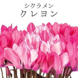 シクラメン クレヨン 3号 9cm ピンク系花色お任せ [冬苗]グラデーションが秀逸の良苗
