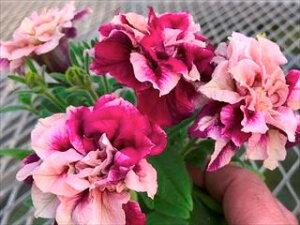 ゲブラナガトヨ 育種 八重咲き ペチュニア 花舞姫 はなまいひめ 3.5号花苗[春苗予約]