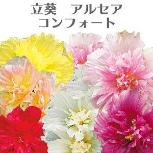 ホリホック 八重咲き アルセア コンフォート 花苗 3号タチアオイ[夏苗予約]