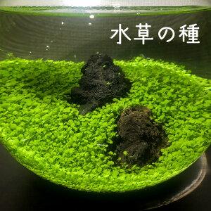 水草の種 タイガーハイグロ 水草栽培 アクアリウム アクアテラリウム 簡単 初心者向け