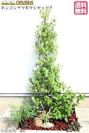 【ホンコンヤマボウシセット1】 ホンコンヤマボウシ(樹高約1.5m) クチナシ(根巻) マホニアコンフーサ(15cmポット) クリスマスローズ(12cmポット) フイリヤブラン(10.5cmポット) アジュガ(9cmポット) 庭木・植栽セット
