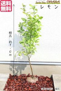 ☆送料無料☆【レモン】樹高約1.0m 常緑 常緑樹 低木 果樹 シンボルツリー 植木 庭木