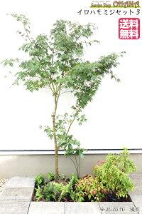【イロハモミジセット3】 イロハモミジ(樹高約1.5m) アセビ(15cmポット) センリョウ(10.5cmポット) オタフクナンテン(12cmポット) シダ・ベニシダ(12cmポット) ヤブコウジ(9cmポット) 庭木・植栽セ