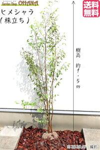☆送料無料☆【ヒメシャラ(株立ち)】樹高約1.5m シンボルツリー 姫シャラ 落葉樹 落葉高木 花木 植木 庭木