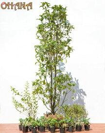 【キンモクセイセット】 キンモクセイ(樹高約1.5m) ヒメウツギ(根巻) シモツケ(根巻) ノシラン・ビッタータス(12cmポット) フッキソウ(9cmポット) 庭木・植栽セット