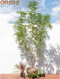 【シマトネリコセット2】 シマトネリコ(樹高約1.5m) コルディリネ(15cmポット) ローズマリー(10.5cmポット) ビンカマジョール(9cmポット) 庭木・植栽セット