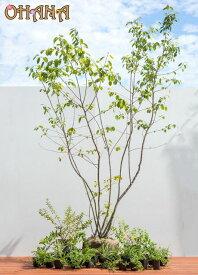 【ジューンベリーセット】 ジューンベリー(樹高約1.5m) ヒペリカムヒデコート(15cmポット) テイカカズラ(12cmポット) ロニセラニティダ(10.5cmポット) ヤブラン(9cmポット) タイム(9cmポット) 庭木・植栽セット