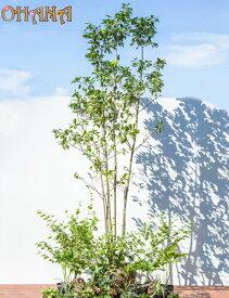 【ソヨゴセット】 ソヨゴ株立ち/ヒュウガミズキ/クリスマスローズ/ノシラン・ビッタータス/ユキノシタ/アジュガ/ヘデラ・へリックス 庭木・植栽セット