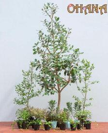 【フェイジョアセット】 フェイジョア(樹高約1.5m) ギンバイカ(15cmポット) アベリア・コンフェッティ(15cmポット) ユリオプスデージー(12cmポット) ヒペリカムカリシナム(10.5cmポット) ビンカマジョール(9cmポット) 庭木・植栽セット