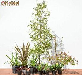 【ポップブッシュセット】 ポップブッシュプルプレア(樹高約1.5m) ニューサイラン銅葉(15cmポット) アベリア(15cmポット) アガパンサス(15cmポット) ヒューケラ銅葉(10.5cmポット) フッキソウ(9cmポット) 庭木・植栽セット