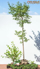 【イロハモミジセット】 イロハモミジ(樹高約1.5m) ヒュウガミズキ(根巻) ツワブキ(10.5cmポット) コグマザサ(10.5cmポット) タマリュウ(9cmポット) 庭木・植栽セット