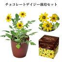 栽培キット チョコレート デイジー 栽培セット 【即納】 栽培 花 植物 かわいい プレゼント グリーン ハーブ 野菜 イ…