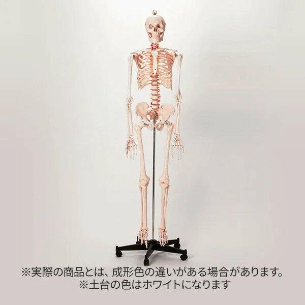 <7ウェルネ>全身骨格模型 等身大 [ 人体模型 骨格模型 骨格標本 骨模型 骸骨模型 人骨模型 骨格モデル 人体モデル ヒューマンスカル 人体 骨格 骸骨 ガイコツ 模型 可動 靭帯 全身模型 教材 実験 接骨院 整骨院 ][ E-5-5 ][ 7エステ ]◆