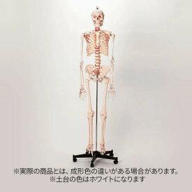 人体模型 骨格模型 7ウェルネ 全身骨格 模型 等身大 [ 間接模型 骨格標本 骨模型 骸骨模型 人骨模型 骨格 人体 モデル ヒューマンスカル 骸骨 ガイコツ 可動 靭帯 全身模型 教材 実験 接骨院 整骨院 ][ E-5-5 ]