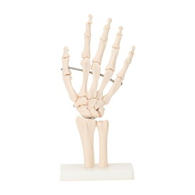 <7ウェルネ>手関節模型 実物大 [ 人体模型 骨格模型 骨格標本 骨模型 骸骨模型 人骨模型 骨格モデル 人体モデル ヒューマンスカル 人体 骨格 骸骨 ガイコツ 模型 可動 右手 手 教材 実験 接骨院 整骨院 ][ E-5-5 ][ 7エステ ]◆