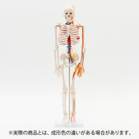 【 ハロウィン 飾り 骸骨 】 人体模型 骨格模型 7ウェルネ 全身骨格 模型 1/2サイズ 高さ85cm 主要動脈・静脈・神経付 [ 間接模型 骨格標本 骨模型 骸骨模型 人骨模型 骨格 人体 モデル ヒューマンスカル 骸骨 ガイコツ 可動 全身模型 教材 実験 接骨院 整骨院 ][ E-5-5 ]