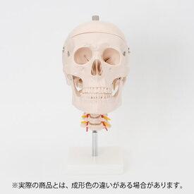 人体模型 骨格模型 7ウェルネ 頭蓋骨 模型 頸椎付 実物大 [ 間接模型 骨格標本 骨模型 骸骨模型 人骨模型 骨格 人体 モデル ヒューマンスカル 骸骨 ガイコツ 模型 頭蓋骨 腰椎 教材 実験 接骨院 整骨院 ][ E-5-5 ]