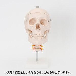 人体模型 骨格模型 7ウェルネ 頭蓋骨 模型 頸椎付 実物大 [ 間接模型 骨格標本 骨模型 骸骨模型 人骨模型 骨格 人体 モデル ヒューマンスカル 骸骨 ガイコツ 模型 頭蓋骨 腰椎 教材 実験 接骨