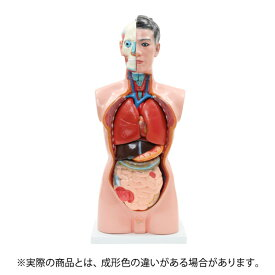 <7ウェルネ>男性内臓模型(19パーツ)85cm [人体模型 内臓模型 人体解剖模型 胴体解剖モデル 人体標本 人体モデル 全身模型 全身標本 人体 内臓 模型 トルソー 標本 教材 実験 整体院 鍼灸院 ][ E-5-5 ][ 7エステ ]