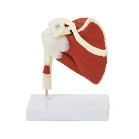 7ウェルネ 肩関節模型 人体模型 ( 主要筋 腱 靭帯付 ) ローテーターカフ 実物大 [ 骨格模型 骨格標本 骨模型 骸骨模型 人骨模型 骨格モデル 人体モデル ヒューマンスカル 人体 骨格 骸骨 ガイコツ 模型 筋肉 肩関節 教材 実験 整体院 鍼灸院 ][ E-5-5 ]