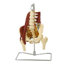 7ウェルネ 骨盤模型 人体模型 ( 主要筋・靭帯・神経付 ) 実物大 [ 骨格模型 骨格標本 骨模型 骸骨模型 人骨模型 骨格モデル 人体モデル ヒューマンスカル 人体 骨格 骸骨 ガイコツ 模型 筋肉 骨盤 教材 実験 整体院 鍼灸院 ][ E-5-5 ]