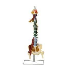 7ウェルネ 脊椎模型 人体模型 ( 主要筋 靭帯 神経 血管 付 ) 実物大 [ 骨格模型 骨格標本 骨模型 骸骨模型 人骨模型 骨格モデル 人体モデル ヒューマンスカル 人体 骨格 骸骨 ガイコツ 模型 筋肉 脊椎 教材 実験 整体院 鍼灸院 ][ E-5-5 ]