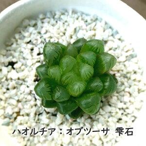 多肉植物!!ハオルチア オブツーサ 雫石 ぷりぷり 多肉植物 ぬき苗 根付き 小さめ 透き通る葉