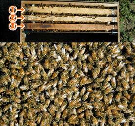 ミツバチ飼育種蜂3枚群2021年4月上旬出荷予定