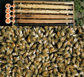 ミツバチ飼育種蜂4枚群2021年4月上旬出荷予定