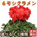 シクラメン 6号鉢 送料無料 最高級シクラメン 鉢花 6号 選べる種類 花 ギフト 誕生日 プレゼント 鉢植え 花鉢 フラワ…